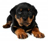 stock photo of little puppy  - Little Rottweiler puppy dog - JPG