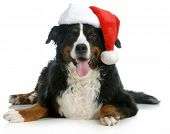 santa dog - bernese mountain dog wearing santa hat on white background