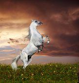 rey arabian horse rearing