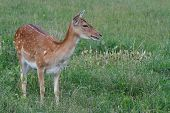 sika deer on a background of green grass