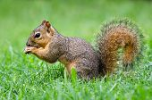 Young Eastern Fox squirrel
