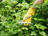 Hand With Green Pruner In The Garden.