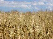 Barleybeard