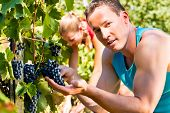 Woman and man - winegrower - picking grapes at harvest time in the sunshine