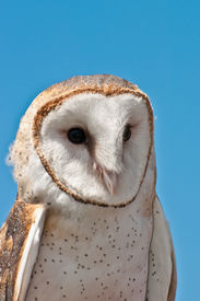 picture of banshee  - A close up of a Barn owl - JPG