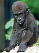 stock photo of gorilla  - A gorilla youngster with a green background - JPG