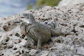 Iguana Perched On A Rocky Sea Wall