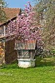 Old Water Well Under Blossom Magnolia Tree
