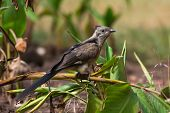 Cuco de juvenil Levaillant (clamator Levaillantii)