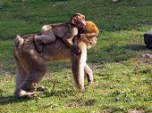 Berber monkey mother and baby