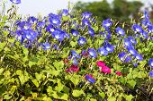 foto of ipomoea  - Morning glory or Ipomoea is flowering plants in the family Convolvulaceae - JPG