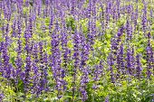 pic of salvia  - Meadow with blooming Blue Salvia herbal flowers - JPG