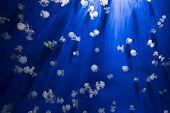 pic of jellyfish  - Many jellyfishes in the deep blue  water picture - JPG