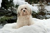 Cute Little Havanese Girl Dog In The Snow