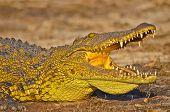 basking croc