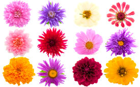 stock photo of cosmos flowers  - Garden flowers in many different colors isolated over white - JPG