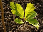 Red oak tree sapling five-six weeks from germination The leaves of seedling have the other color and