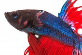 pic of dragon-fish  - fighting fish betta splenden siamese fighting fish isolated on white - JPG