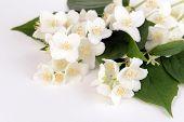 Beautiful jasmine flowers isolated on white