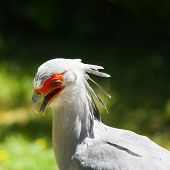 Detail Of Secretary Bird (sagittarius Serpentarius) On A Green Background