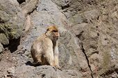 Lonely Barbary Macaque (macaca Sylvanus) On A Steep Rock