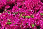 Beautiful Bougainvillea Background