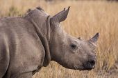 pic of rhino  - african rhino into the wilde in african savannah - JPG