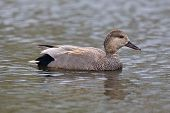 Gadwall Duck Closeup