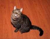 image of yellow tabby  - Tabby cat with yellow eyes sitting on floor - JPG