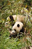 Three young pandas eating bamboo