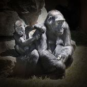The Gorilla female with her child.