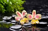 beautiful two orchid with black stones �¢�?�?green plant background