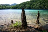 Old Tree Trunks Protruding From The Lake