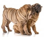 picture of shar-pei puppy  - two puppies playing  - JPG