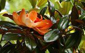 Aging Magnolia
