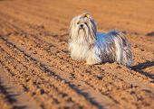 Shih tzu dog on ground.