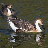 White And Brown Chinese Goose (anser Cygnoides)