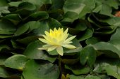 Lotus is bellflower Intended for Buddhist temples.