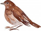 picture of nightingale  - watercolor drawing bird - JPG