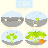 growing pumpkin