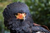 picture of eagle  - close up of a bateleur eagle - JPG