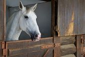 stock photo of white horse  - Portrait of a white horse in stable - JPG
