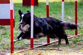 Agility Dog With A Shetland Sheepdog