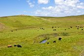 Cattle On Rolling Hills