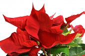 stock photo of poinsettia  - closeup of a red poinsettia on a white background - JPG