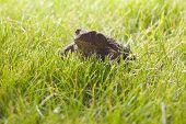 Gray frog sitting on green grass
