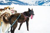 stock photo of sled-dog  - Sled Dogs Take A Break From Mushing Across A Snow Plain - JPG