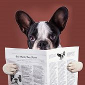 French bulldog reading newspaper