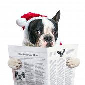 French bulldog in santa hat reading newspaper over white