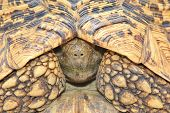 Leopard Skinned Tortoise - African Reptile Background - Hiding from the World